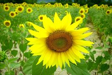 rsz_sunflower-1.jpg